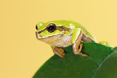 European tree frog on a leaf. European tree frog standing  on a leaf  Hyla arborea Royalty Free Stock Images