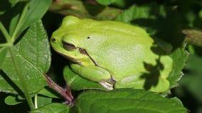 European tree frog - macro - side view. European tree frog - Hyla arborea when sunbathing - macro shot - side view stock video footage