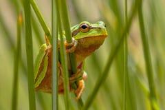 European tree frog peeking from behind rush Royalty Free Stock Photos
