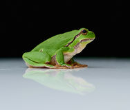 European tree frog on a reflecting white plate. Close up of european tree frog (Hyla arborea) sitting on a a reflecting white plate with black background royalty free stock images