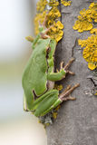 European tree frog Stock Photo