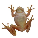 European tree frog on window isolated on white bac Stock Images