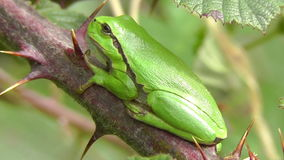 European tree frog - young frog. European tree frog - Hyla arborea in a side view - macro shot stock video footage