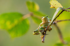 European Tree Frogs. A European Tree frog hanging on a branch pushing another one aside Stock Photo