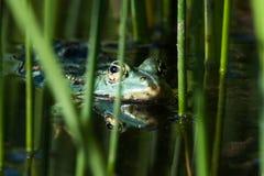 European tree frogs Royalty Free Stock Photos