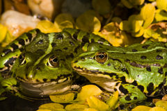 European tree frogs Royalty Free Stock Photo