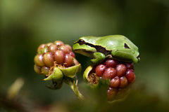 European Treefrog (Hyla arborea). Sits in the sun on a branch of a blackberry stock image