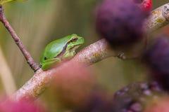 European Treefrog (Hyla arborea) Royalty Free Stock Image