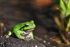 European Treefrog - Hyla arborea Royalty Free Stock Photo