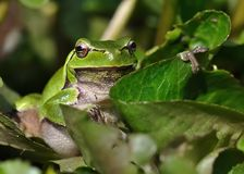 European Treefrog - Hyla arborea Royalty Free Stock Images