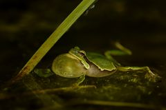 European Treefrog - Hyla arborea Stock Photography
