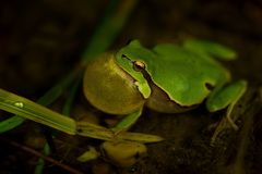 European Treefrog - Hyla arborea. In the small pond, singing frog royalty free stock photos
