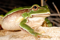 European treefrog Hyla arborea in Valdemanco, Madrid, Spain Stock Photography