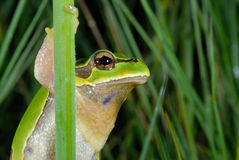 European treefrog Hyla arborea in Valdemanco, Madrid, Spain Stock Photo