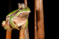 European treefrog Hyla arborea in Valdemanco, Madrid, Spain Royalty Free Stock Photography