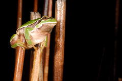 European treefrog Hyla arborea in Valdemanco, Madrid, Spain Royalty Free Stock Photo