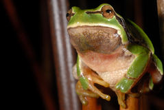 European treefrog Hyla arborea in Valdemanco, Madrid, Spain Stock Images