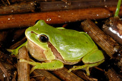 European treefrog Hyla arborea in Valdemanco, Madrid, Spain Stock Image