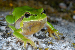 European treefrog Hyla arborea in Valdemanco, Madrid, Spain Stock Photos