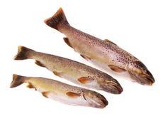European trout (Salmo trutt. A fario) isolated on white Stock Photo