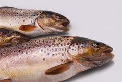 European trout (Salmo trutt. A fario Royalty Free Stock Photo