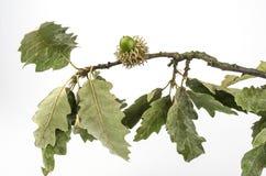 European turkey oak fruit Royalty Free Stock Photography