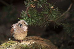 European turtle dove. The european turtle dove sitting in the forest Stock Photography