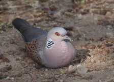 European Turtle dove. Streptopelia turtur Stock Photography