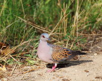 European turtle dove Royalty Free Stock Images