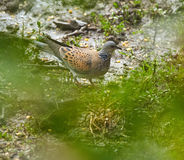 European turtle dove on the ground Royalty Free Stock Images