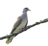 European Turtle dove isolated on white, Streptopelia turtur Royalty Free Stock Photo