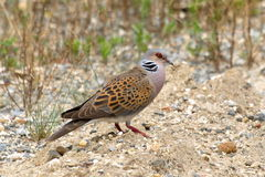 European Turtle dove  Streptopelia turtur Stock Image