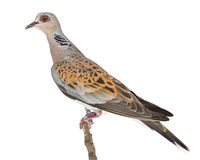 European Turtle Dove, Streptopelia turtur. Also known as the Turtle Dove against white background Stock Photo