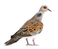 European Turtle Dove, Streptopelia turtur. Also known as the Turtle Dove against white background Royalty Free Stock Image