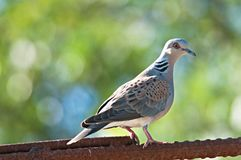 European turtle dove. Streptopelia turtur Stock Photos