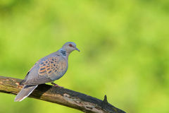 European turtle dove. Streptopelia turtur. Royalty Free Stock Image