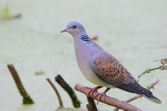 European turtle dove. Streptopelia turtur. Turtle Dove. European turtle dove. Streptopelia turtur Royalty Free Stock Photos
