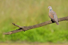 European turtle dove. Streptopelia turtur. Royalty Free Stock Photography