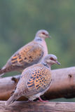 European turtle dove. Streptopelia turtur. Turtle Dove. European turtle dove. Streptopelia turtur Royalty Free Stock Photography