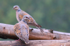 European turtle dove. Streptopelia turtur. Turtle Dove. European turtle dove. Streptopelia turtur Royalty Free Stock Image