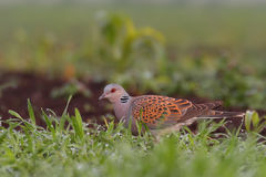 European turtle dove. Streptopelia turtur. Royalty Free Stock Images