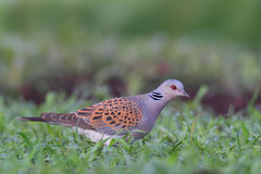 European turtle dove. Streptopelia turtur. Turtle Dove. European turtle dove. Streptopelia turtur Stock Photo