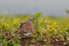 European turtle dove. Streptopelia turtur. Royalty Free Stock Photo