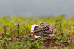 European turtle dove. Streptopelia turtur. Stock Photo