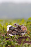 European turtle dove. Streptopelia turtur. Royalty Free Stock Photos
