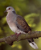 European turtle dove (Streptopelia turtur). On the branch of tree Royalty Free Stock Images