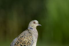 European turtle dove (Streptopelia turtur). With green background providing natural copy space Royalty Free Stock Image