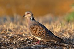 European Turtle-Dove - Streptopelia turtur. Sittong on the ground in the evening light, nice background, beautiful colours Royalty Free Stock Photos