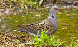 European turtle dove (Streptopelia turtur). On watering Royalty Free Stock Photo
