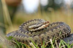 European viper on mountain meadow Stock Photo